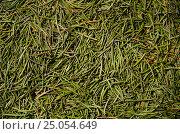 Купить «Фон из еловых иголок», фото № 25054649, снято 27 мая 2018 г. (c) Игорь Кутателадзе / Фотобанк Лори