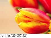 Купить «close up of tulip flowers», фото № 25057321, снято 28 января 2016 г. (c) Syda Productions / Фотобанк Лори