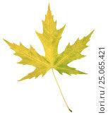 Натуральный осенний лист серебристого тополя на белом фоне. Стоковое фото, фотограф Ольга К. / Фотобанк Лори