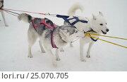 Купить «Husky sled dogs at start», видеоролик № 25070705, снято 5 февраля 2017 г. (c) Сергей Кальсин / Фотобанк Лори