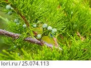 Купить «Можжевельник западный (лат. Juníperus occidentalis) — вид растений рода Можжевельник», фото № 25074113, снято 13 августа 2016 г. (c) Зезелина Марина / Фотобанк Лори