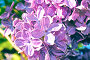 Blooming lilac flowers, spring floral background, фото № 25074121, снято 23 мая 2016 г. (c) Зезелина Марина / Фотобанк Лори