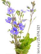 Купить «The blue flowers», фото № 25074321, снято 28 мая 2012 г. (c) Иванов Аркадий Николаевич / Фотобанк Лори