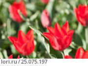 Купить «red tulips in the sunlight», фото № 25075197, снято 17 апреля 2007 г. (c) mauritius images / Фотобанк Лори