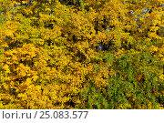 Купить «Yellow leaves of a linden», фото № 25083577, снято 25 сентября 2016 г. (c) Сергей Эшметов / Фотобанк Лори