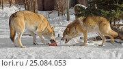 Купить «Волки (Canis lupus). Ссора из-за мяса», фото № 25084053, снято 5 февраля 2017 г. (c) Валерия Попова / Фотобанк Лори