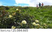 Купить «В Кавказском заповеднике цветут рододендроны», видеоролик № 25084665, снято 15 июня 2016 г. (c) Сергей Петренко / Фотобанк Лори
