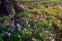 Весенний лесной пейзаж - хохлатка плотная (Corydalis halleri) цветущая под деревом в лесу, фото № 25090533, снято 16 апреля 2016 г. (c) Зезелина Марина / Фотобанк Лори