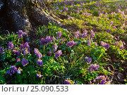 Купить «Весенний лесной пейзаж - хохлатка плотная (Corydalis halleri) цветущая под деревом в лесу», фото № 25090533, снято 16 апреля 2016 г. (c) Зезелина Марина / Фотобанк Лори