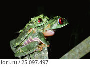 Купить «Red eyed treefrogs in amplexus {Agalychnis callidryas} female swollen with water. Panama», фото № 25097497, снято 21 августа 2018 г. (c) Nature Picture Library / Фотобанк Лори