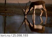 Blackbuck male drinking {Antilope cervicapra} Thar desert Rajasthan India. Стоковое фото, фотограф Bernard Castelein / Nature Picture Library / Фотобанк Лори