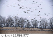 Sandhill cranes landing in field Platte river Nebraska USA {Grus canadensis} . march. Стоковое фото, фотограф Mark Payne-Gill / Nature Picture Library / Фотобанк Лори