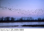 Sandhill cranes flying over Platte river Nebraska USA {Grus canadensis} . march 200. Стоковое фото, фотограф Mark Payne-Gill / Nature Picture Library / Фотобанк Лори