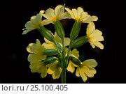 Купить «Oxslip flowers {Primula elatior} Belgium», фото № 25100405, снято 21 августа 2018 г. (c) Nature Picture Library / Фотобанк Лори