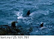 Купить «Killer whales {Orcinus orca} attacking elephant seal Crozet Islands Indian Ocean», фото № 25101781, снято 18 апреля 2019 г. (c) Nature Picture Library / Фотобанк Лори