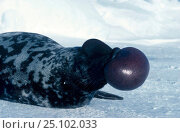 Купить «Hooded seal {Cystophora cristata} Male nasal display. Gulf of St. Lawrence Canada», фото № 25102033, снято 2 июня 2020 г. (c) Nature Picture Library / Фотобанк Лори