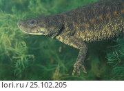 Купить «Sharp ribbed salamander. (Pleurodeles waltl) Spain», фото № 25102205, снято 26 сентября 2018 г. (c) Nature Picture Library / Фотобанк Лори