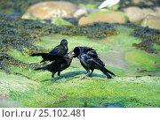 Купить «Rook feeding juvenile on beach. (Corvus frugilegus) England», фото № 25102481, снято 23 сентября 2018 г. (c) Nature Picture Library / Фотобанк Лори