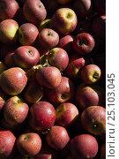 Купить «Persimmon apples (Diospyros sp), Rome, Italy.», фото № 25103045, снято 16 июля 2018 г. (c) Nature Picture Library / Фотобанк Лори