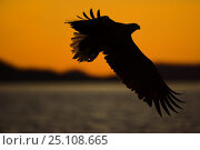 Купить «White tailed sea eagle (Haliaeetus albicilla) in flight, silhouetted against a setting sun and distant mountains, Norway.», фото № 25108665, снято 22 марта 2019 г. (c) Nature Picture Library / Фотобанк Лори