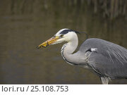Купить «Grey heron (Ardea cinerea) with eel in beak. Hampshire, England.», фото № 25108753, снято 23 октября 2018 г. (c) Nature Picture Library / Фотобанк Лори