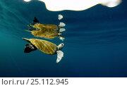 Купить «Sea turtle (Chelonioidea) in calm water, Guatemala.», фото № 25112945, снято 18 июня 2019 г. (c) Nature Picture Library / Фотобанк Лори
