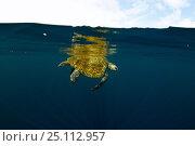 Купить «Sea turtle (Chelonioidea) slowly making its way through calm water off Guatemala.», фото № 25112957, снято 18 июня 2019 г. (c) Nature Picture Library / Фотобанк Лори
