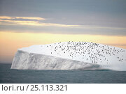 Купить «Chinstrap penguins (Pygoscelis antarctica)crowded on an iceberg off South Georgia Island, March 2003.», фото № 25113321, снято 16 июля 2019 г. (c) Nature Picture Library / Фотобанк Лори
