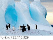 Купить «A group of chinstrap penguins (Pygoscelis antarctica) on an iceberg off South Georgia Island, March 2003.», фото № 25113329, снято 16 июля 2019 г. (c) Nature Picture Library / Фотобанк Лори
