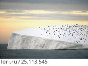 Купить «Chinstrap penguins (Pygoscelis antarctica) crowded on an iceberg off South Georgia Island, March 2003.», фото № 25113545, снято 16 июля 2019 г. (c) Nature Picture Library / Фотобанк Лори