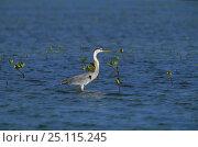 Купить «A grey heron (Ardea cinerea) standing in shallow water, Cuba.», фото № 25115245, снято 6 декабря 2019 г. (c) Nature Picture Library / Фотобанк Лори