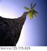 Купить «Coconut palm tree (Cocos nucifera), Fort Lauderdale, Florida 1998.», фото № 25115829, снято 19 августа 2018 г. (c) Nature Picture Library / Фотобанк Лори