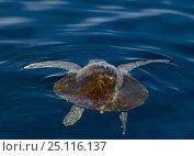 Купить «Sea-turtle (Chelonioidea) drifting slowly in the Pacific Ocean, Guatemala.», фото № 25116137, снято 18 июня 2019 г. (c) Nature Picture Library / Фотобанк Лори