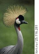 Купить «Crowned crane (Balearica regulorum) in Umflozi Game Reserve, South Africa.», фото № 25116281, снято 23 ноября 2019 г. (c) Nature Picture Library / Фотобанк Лори