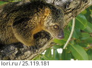 Купить «Sulawesi bear cuscus (Ailurops ursinus), endemic to Indonesia.», фото № 25119181, снято 17 октября 2018 г. (c) Nature Picture Library / Фотобанк Лори