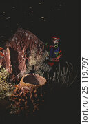 Купить «Diver watching giant basket star (Astrophyton muricatum) attached to barrel sponge (Xestospongia muta) during a night dive, Bay Islands, Honduras.», фото № 25119797, снято 16 января 2019 г. (c) Nature Picture Library / Фотобанк Лори