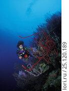 Купить «Scuba diving with sponges and gorgonian sea fans (Gorgonacea), Honduras.», фото № 25120189, снято 16 января 2019 г. (c) Nature Picture Library / Фотобанк Лори