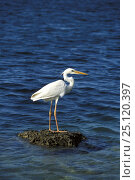 Купить «Great white heron (Ardea herodias occidentalis), standing on rock surrounded by water, Florida.», фото № 25120397, снято 6 декабря 2019 г. (c) Nature Picture Library / Фотобанк Лори