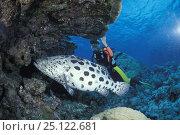 Купить «Diver looking at a Potato cod (Epinephelus tukula), Cod Hole dive site, Great Barrier reef, Australia», фото № 25122681, снято 16 января 2019 г. (c) Nature Picture Library / Фотобанк Лори