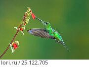 Купить «Green-crowned brilliant (Heliodoxa jacula) adult female feeding from flower while in flight. Juan Castro National Park, Costa Rica.», фото № 25122705, снято 17 июня 2019 г. (c) Nature Picture Library / Фотобанк Лори