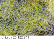 Gutweed (Enteromorpha intestinalis) growing in shallow rock pool, Isle of Ulva, Mull, Scotland, June. Стоковое фото, фотограф Chris Mattison / Nature Picture Library / Фотобанк Лори