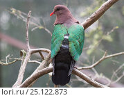 Купить «Grey-capped Emerald Dove (Chalcophaps indica) at rest in a park. Mary River, Northern Territory, Australia», фото № 25122873, снято 20 июня 2019 г. (c) Nature Picture Library / Фотобанк Лори