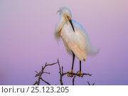 Купить «Snowy egret  (Egretta thula) preening at dusk, La Pampa, Argentina», фото № 25123205, снято 18 июня 2019 г. (c) Nature Picture Library / Фотобанк Лори