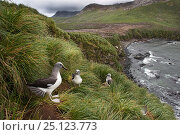 Купить «Grey-headed albatross (Thalassarche chrysostoma) colony at Elsehul, South Georgia, January», фото № 25123773, снято 20 июля 2018 г. (c) Nature Picture Library / Фотобанк Лори