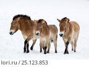 Przewalski's horse or Takhi (Equus ferus przewalskii),  Bavarian Forest National Park, Germany, January. Captive. Стоковое фото, фотограф Franco Banfi / Nature Picture Library / Фотобанк Лори