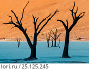 Dead Vlei, with dessicated 900 year old trees standing in the salt pan surrounded by towering red sand dunes. Namib-Naukluft National Park, Namibia. June 2013. Стоковое фото, фотограф Jack Dykinga / Nature Picture Library / Фотобанк Лори