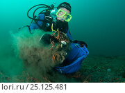 Купить «Scientist from the Heriot Watt scientific dive team collecting Horse mussel (Modiolus modiolus) samples to assess biodiversity. Within a Marine Protected Area, Shetland, Scotland, UK, September 2012.», фото № 25125481, снято 28 мая 2018 г. (c) Nature Picture Library / Фотобанк Лори