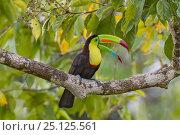 Купить «Keel-billed toucan (Ramphastos sulfuratus) adult   calling from rainforest tree. North Costa Rica.», фото № 25125561, снято 21 мая 2018 г. (c) Nature Picture Library / Фотобанк Лори