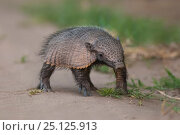 Big hairy armadillo (Chaetophractus villosus), La Pampa, Argentina. Стоковое фото, фотограф Gabriel Rojo / Nature Picture Library / Фотобанк Лори