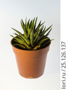 Small cactus in a flower pot. Стоковое фото, фотограф Станислав Занегин / Фотобанк Лори